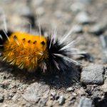 Banded Woollybear (Pyrrharctia isabella)