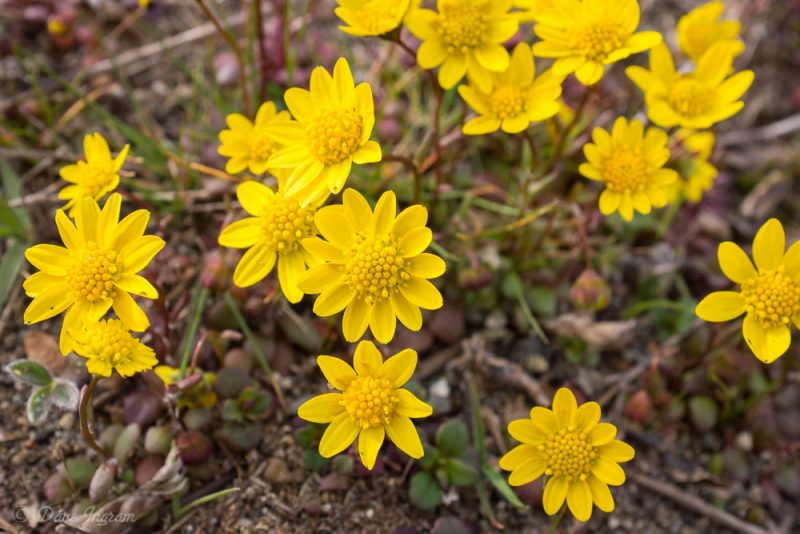 Gold Star (Crocidium multicaule)