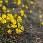 Common Spring-Gold (Crocidium multicaule)