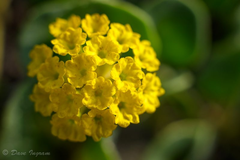 Yellow Sand-verbena