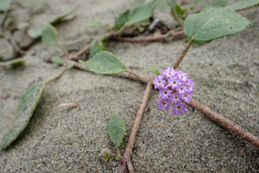 Pink Sand-verbena (Abronia umbellata)