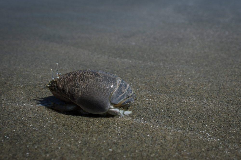Pacific mole crab (Emerita analoga) on the beach at Florencia Bay.
