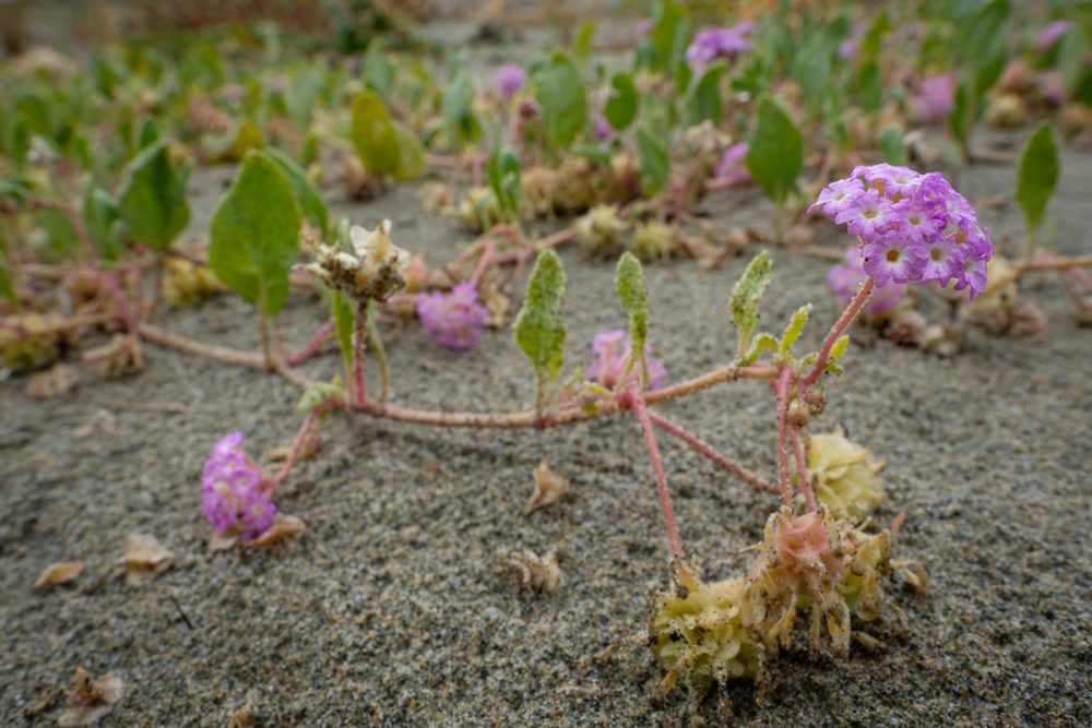 Pink sand-verbena flower and seed heads.