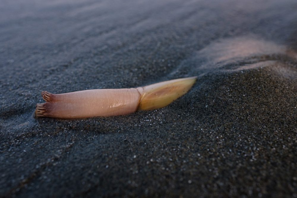 Razor clam on the surface at Long Beach in Pacific Rim National Park Reserve.
