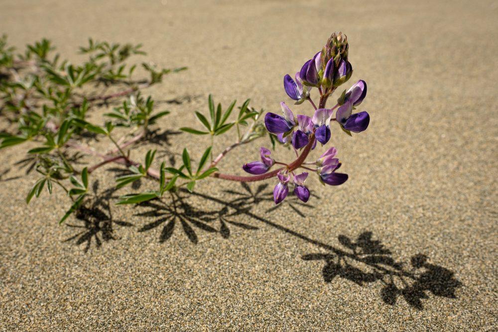 Seashore Lupine (Lupinus littoralis)